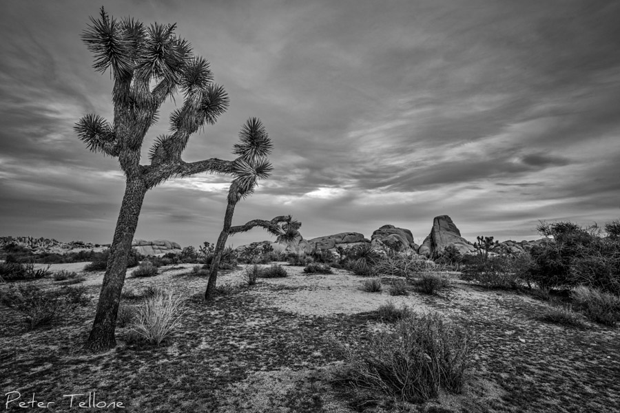 Spring in Joshua Tree
