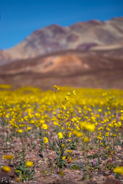 Death Valley Super Bloom 2016