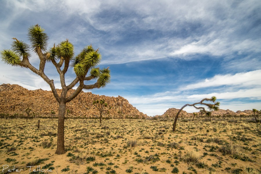 Spring in Joshua Tree NP