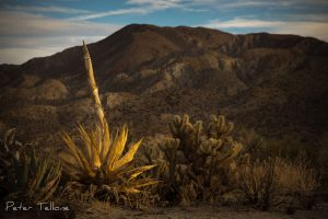 Anza -Borrego Desert State Park, Agave, The Desert, Sonoran Desert, Sunset, Fine Art prints