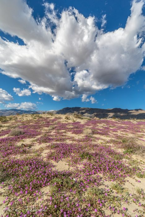Anza- Borrego Desert Wildflowers 2019
