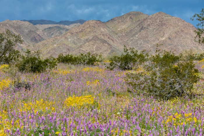 Joshua Tree National Park Wildflowers 2019
